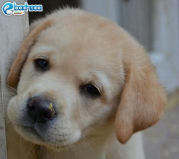Anteprima Labrador cuccioli
