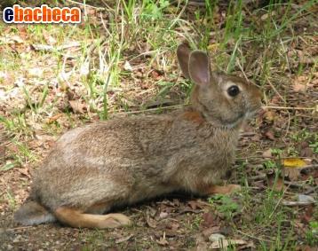 Anteprima Conigli puri selvatici
