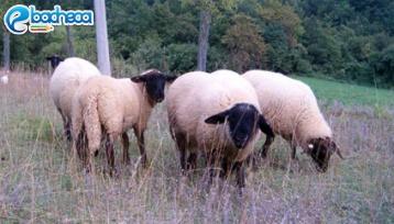 Anteprima Ovini di razza Suffolk