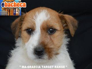 Anteprima Jack Russell Terrier -