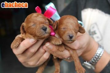 Anteprima Barboncini Cuccioli