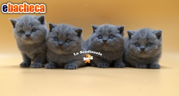 Anteprima British shorthair blue