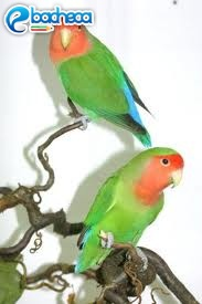 Anteprima Inseparabili pappagalli