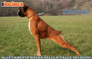 Anteprima Boxer Bolzano vendo