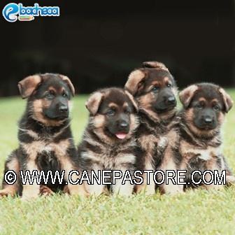 Anteprima Cuccioli pastore tedesco
