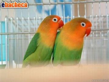 Anteprima Blocco di pappagalli